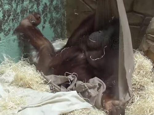 05062016-orangutan1