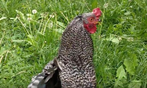 08062016-chicken1