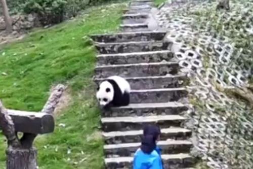 08062016-panda2