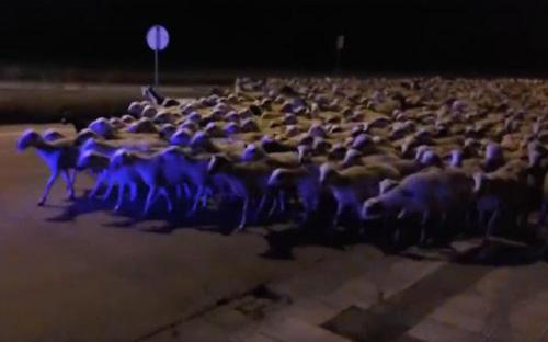 09062016-sheeps