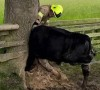 14062016-cow-s