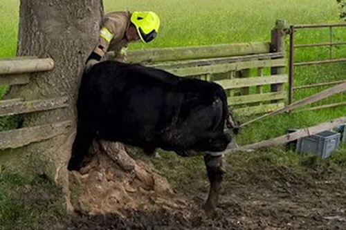 14062016-cow