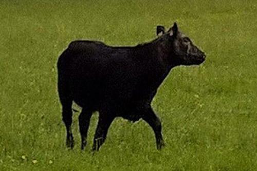 14062016-cow3