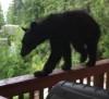 16062016-bear-s