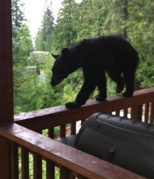 16062016-bear