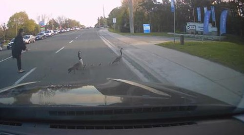 16062016-goose