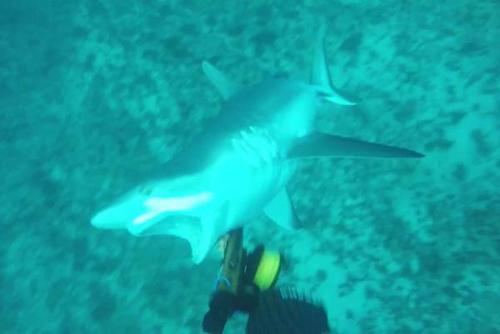 17062016-shark1