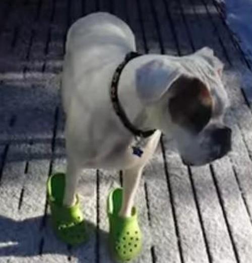 24062016-dogincrocs1