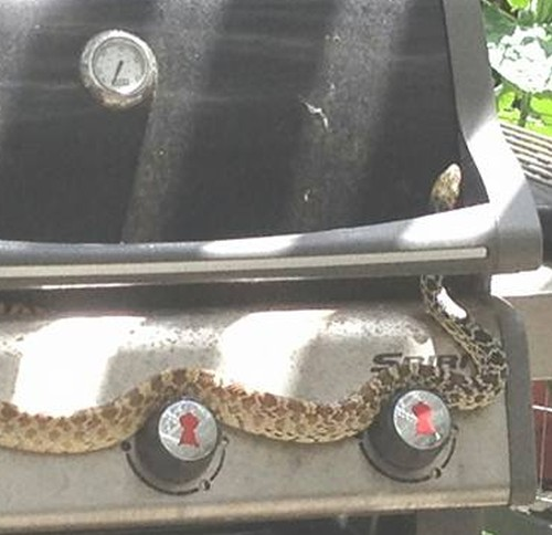 28062016-snakeongrill1