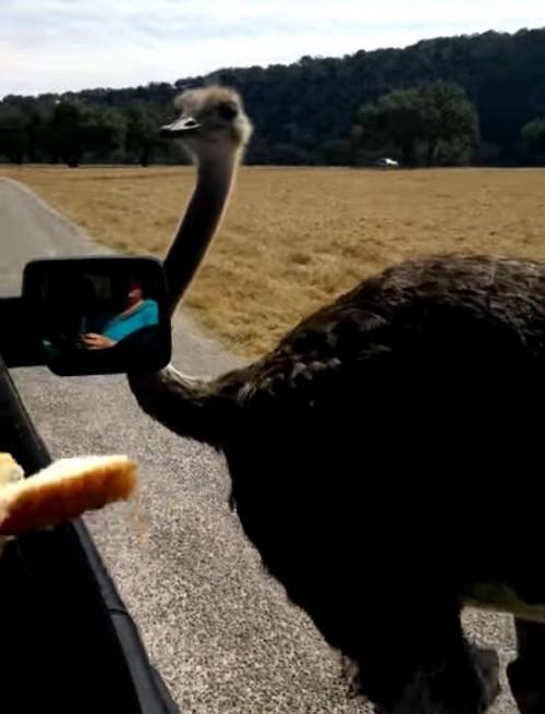 29062016-ostrich