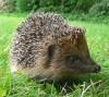 04072016-hedgehog-s
