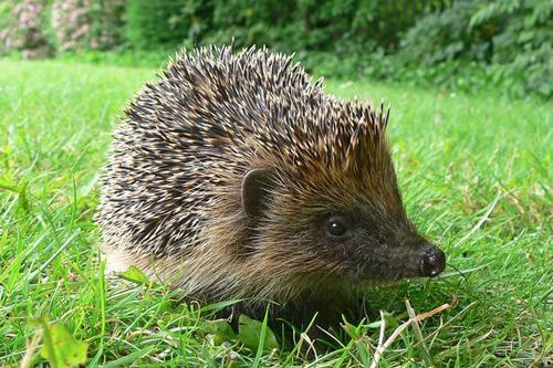 04072016-hedgehog1