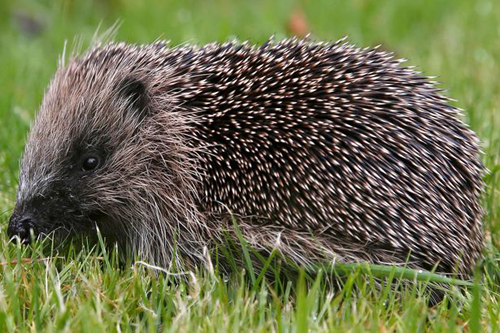 04072016-hedgehog2