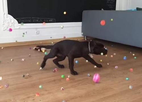 07072016-puppyandballs1