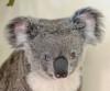 13072016-koala-s