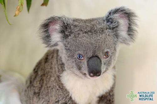 13072016-koala