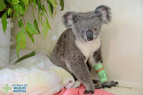 13072016-koala1