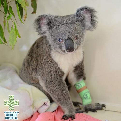 13072016-koala2