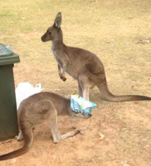 15072016-kangaroo