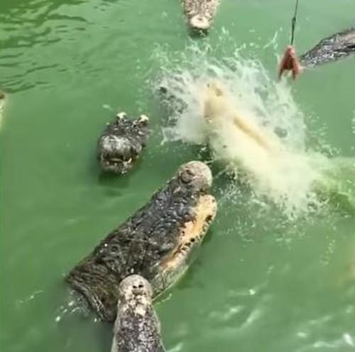 20072016-crocodiles2