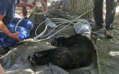 22072016-bear