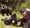 22072016-gorilla-s