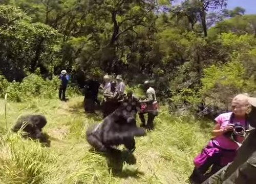 22072016-gorilla