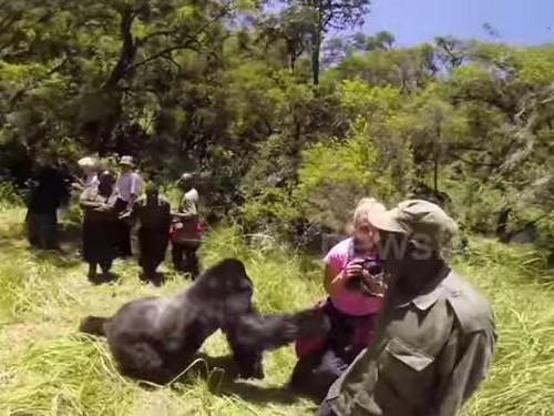 22072016-gorilla1