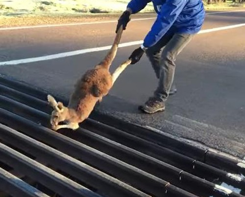 31072016-kangaroo1