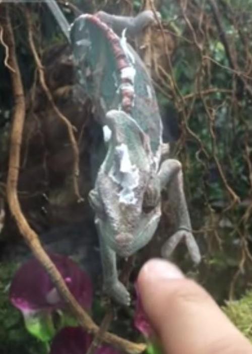 02082016-chameleon1
