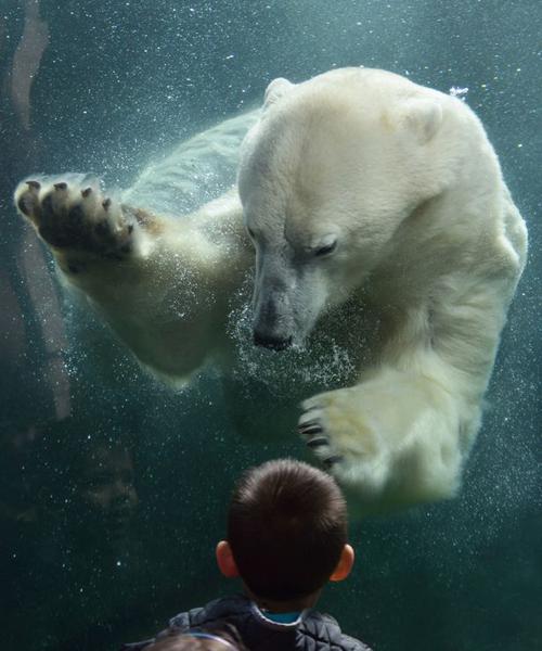 04082016-polarbear