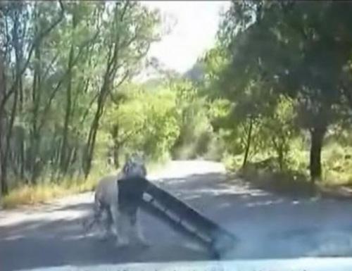 07082016-tiger1