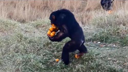 09082016-chimp