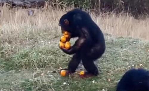 09082016-chimp1