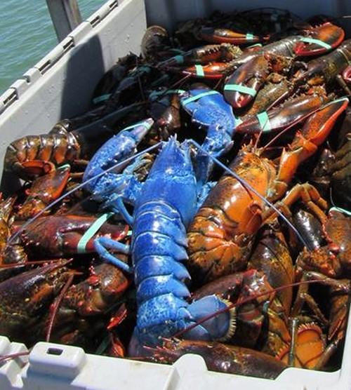 12082016-lobster1