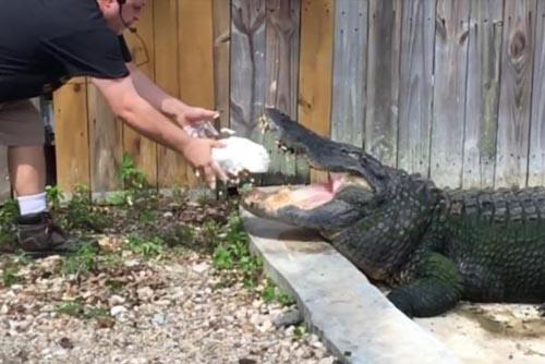 16082016-alligator