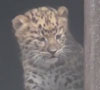 17082016-leopard-s