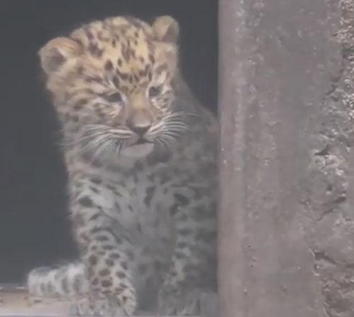 17082016-leopard