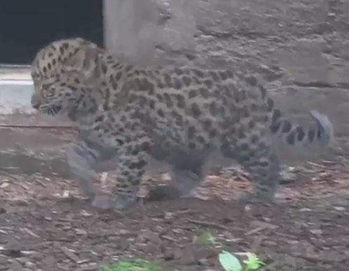 17082016-leopard1