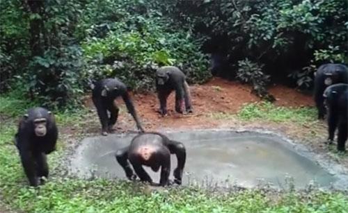 19082016-chimp