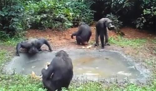 19082016-chimp2