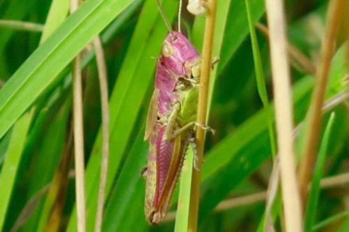 25082016-grasshopper