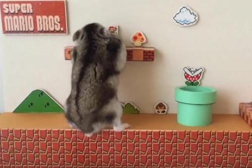 25082016-hamster