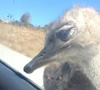 25082016-ostrich-s