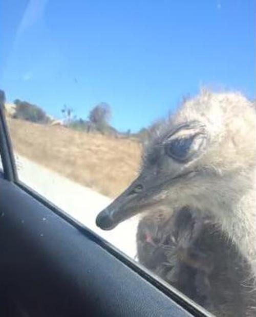 25082016-ostrich
