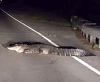 26082016-aligatoronroad-s