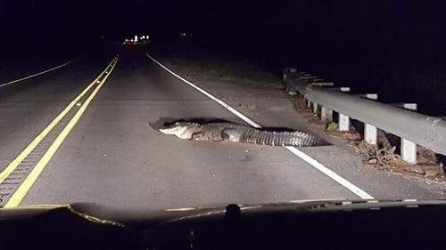 26082016-aligatoronroad