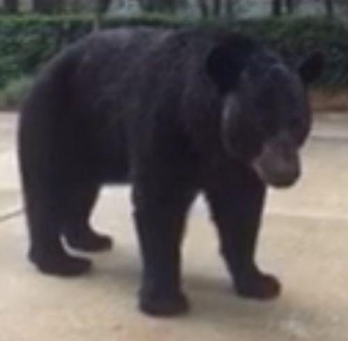 01092016-bearvideo