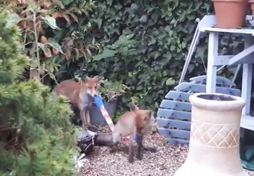 01092016-foxes