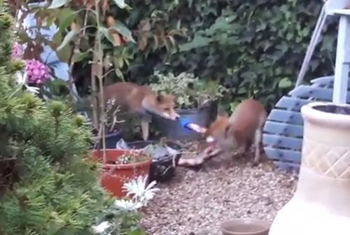 01092016-foxes2